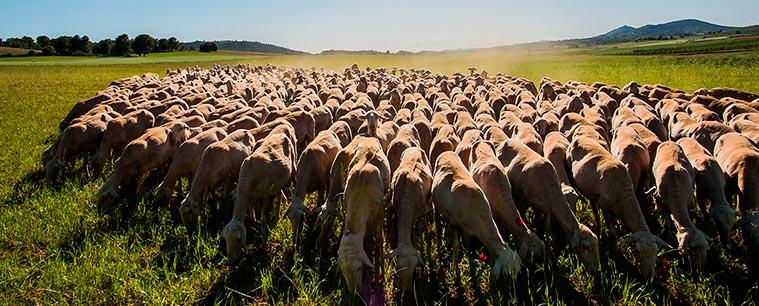queso-manchego-ovejas-3