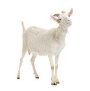 cabra-white