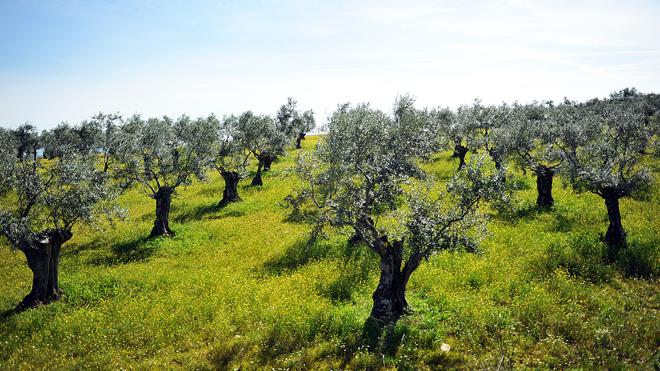 oliva-field