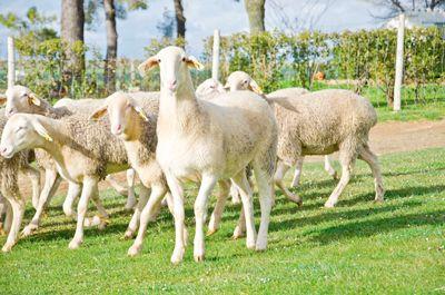 ovce-mancehgo-queso