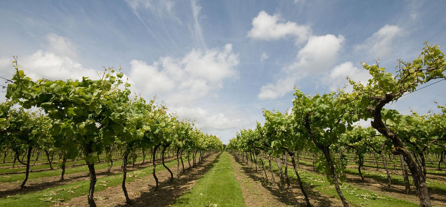 wine-yard-1