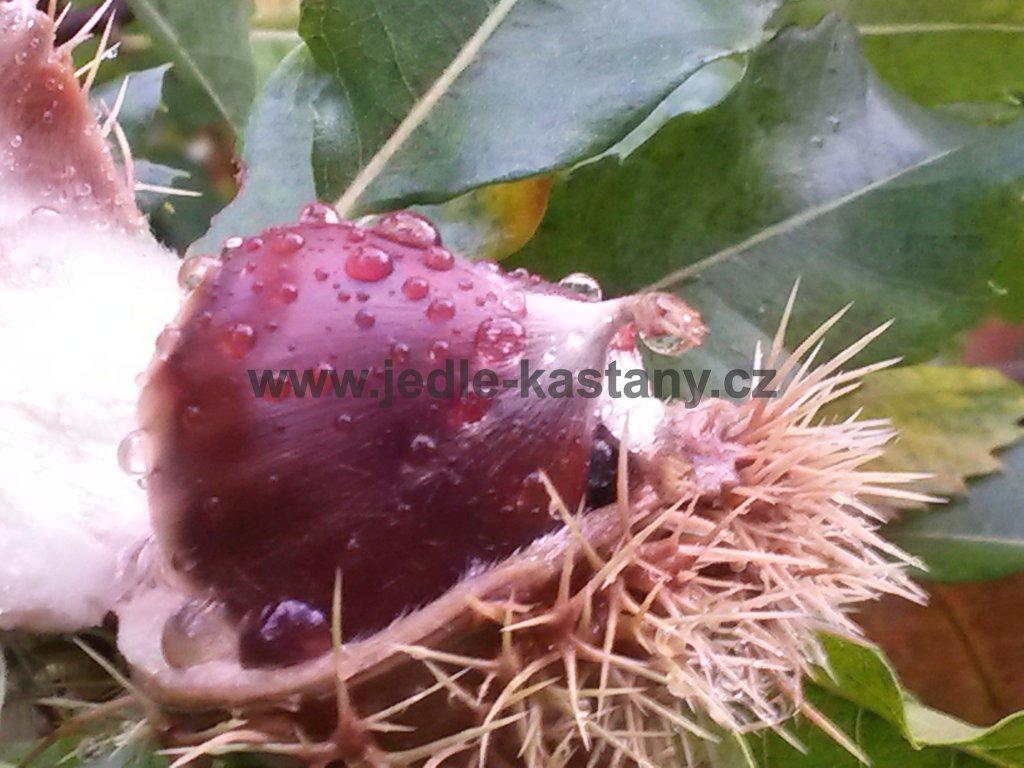 jedlý kaštan MARAVAL -výška 100-120 - 2 letý roubovanec  ( původ Itálie) - jedlý kaštan