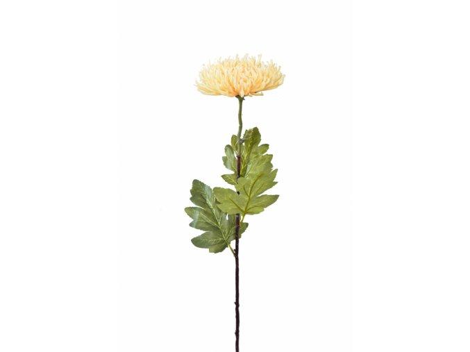 Chryzantéma jehlicovitá meruňková 84 cm