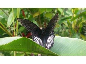1797 cerny motyl