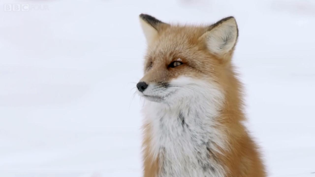Lišky využívají při lovu magnetismus Země