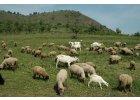 Ovce, kozy