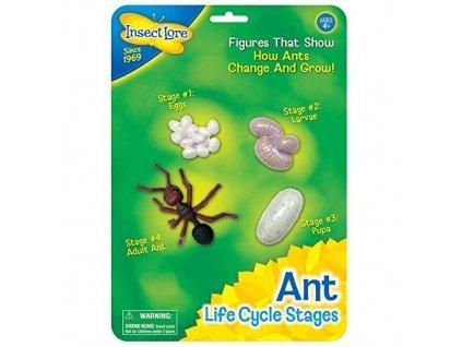 Životní Cyklus Mravence