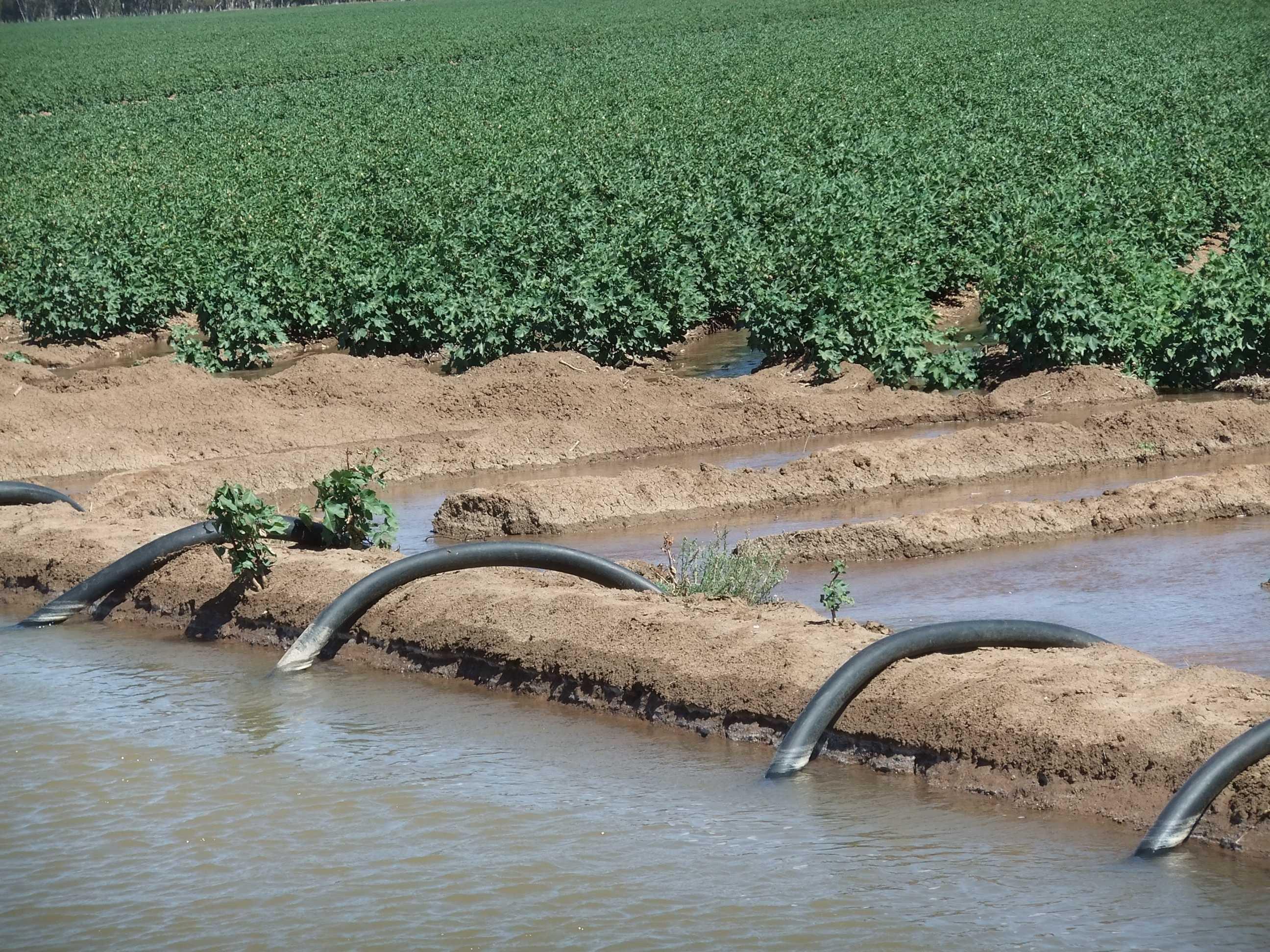 Spotřeba vody při klasickém pěstování bavlny