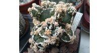 Astrophytum myriostigma fukurio hakuun