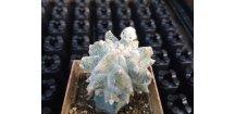 Astrophytum miriostigma lotusland