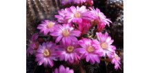 Mammillaria saboae