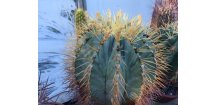 Ferocactus glauscescens