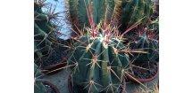 Ferocactus rectispinus PP 1501