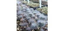 Mammillaria bocasana