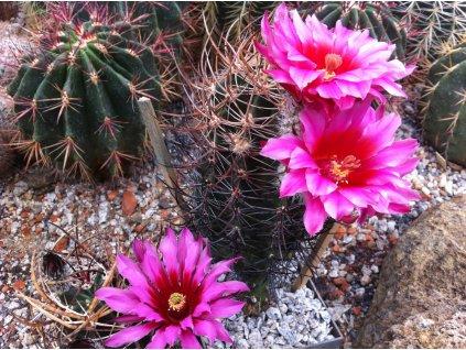 ECHINOCEREUS lindsayi,Baja California