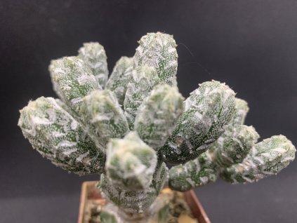 Astrophytum myriostigma cv. hubuki