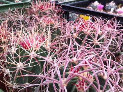 Echinocactus paryi  L 1372 j Cuidad Juarez chih 1100m