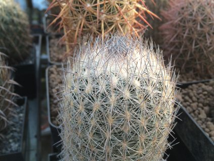 Echinomastus  mariposenzis SB 452