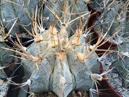 Astrophytum niveum