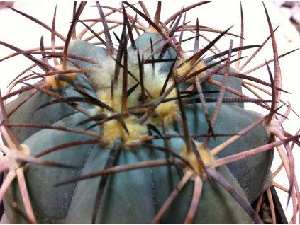 Echinocactus horizontal