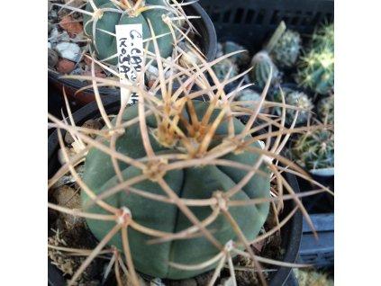 Gymnocalycium cardenasianum košat