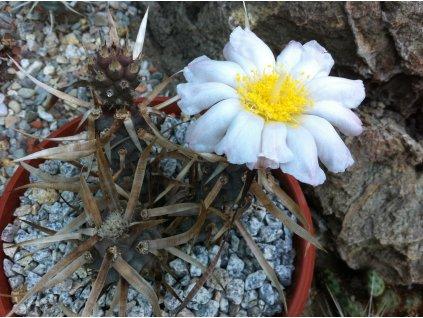Tephrocactus articulatus v. papyracanthus odnož
