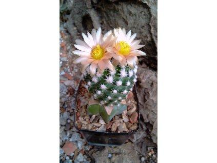 Pediocactus vinkleri jpg
