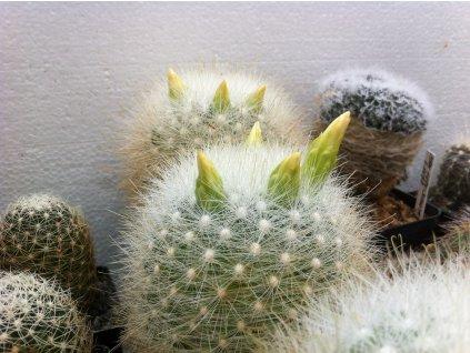 MAMILOPSIS senelis v.albiflora
