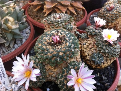 Ariocarphus kotchoubeyanus v. albiflorus RS 603 tula