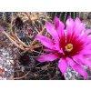 Echinocereus lindsayi baja california