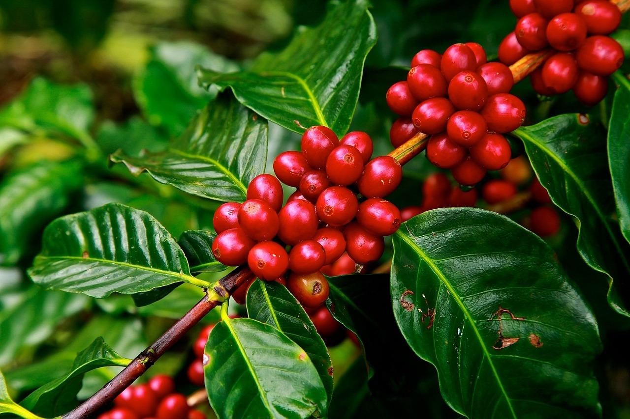 Průvodce vlastnostmi kávy: Střední Amerika