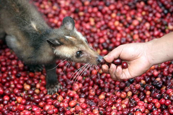 O cibetkové kávě, její pravosti a ceně