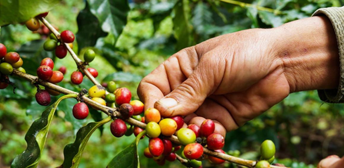 plantážní čerstvě pražená káva