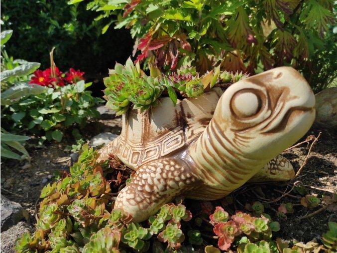 želva velká 1