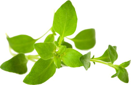 Basil & Herbs