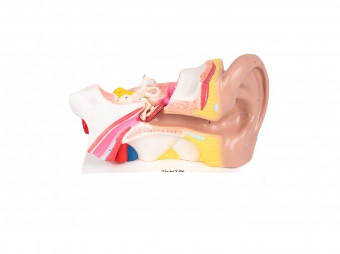 Lidské ucho (Human ear)