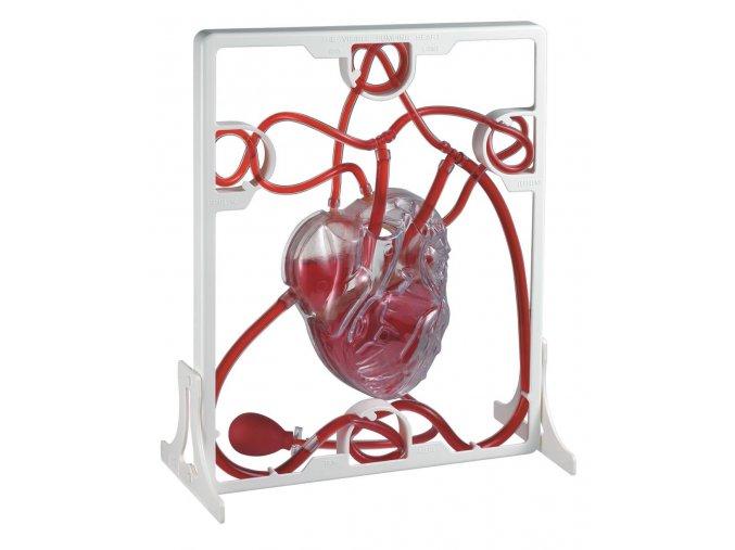 Srdeční tep (Pumping heart model)