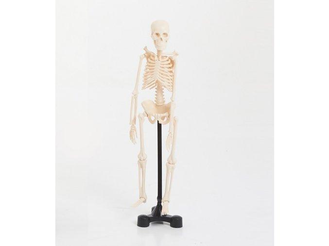 Kostra malá (Mini skeleton 46cm)