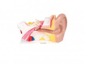 Lidské ucho / Human ear