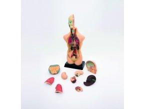 Větší anatomické rozkládací torzo těla (1/2 size anatomical torzo)