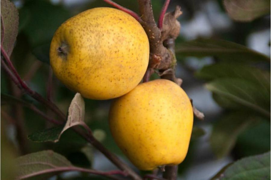 ripe-pitmaston-pineapple-apples-original_1