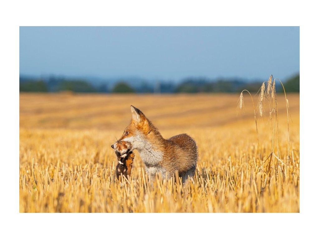 Liška a křeček
