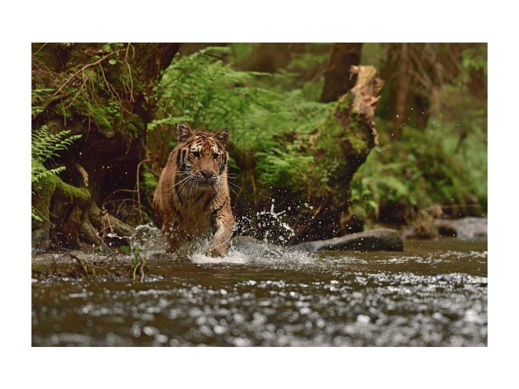 Tygr sibiřský