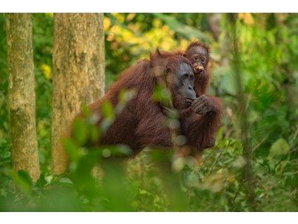 Orangutan s banánem