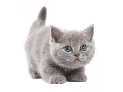 samolepka nálepka kočka kotě britská modrá