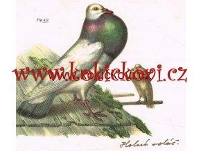 HOLUB VOLÁČ HOLUB ROUSŇÁK litografická tabule 1864  HOLUBÁŘSTVÍ