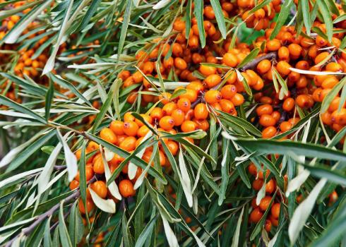 Vitamínom C nabitý rakytník ako prírodný konzervant