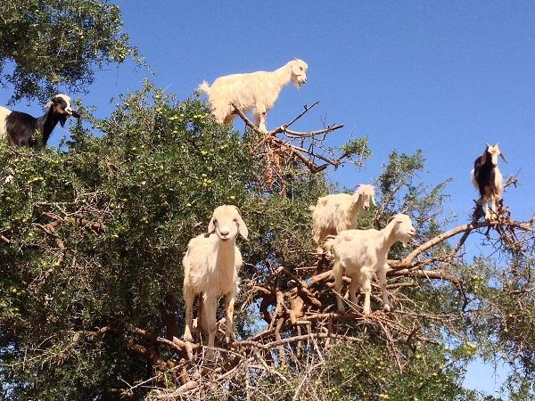 kozy na stromu Argania Spinosa