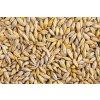 13404017 orzo orzo hordeum grano è un cereale importante un membro della famiglia di erba