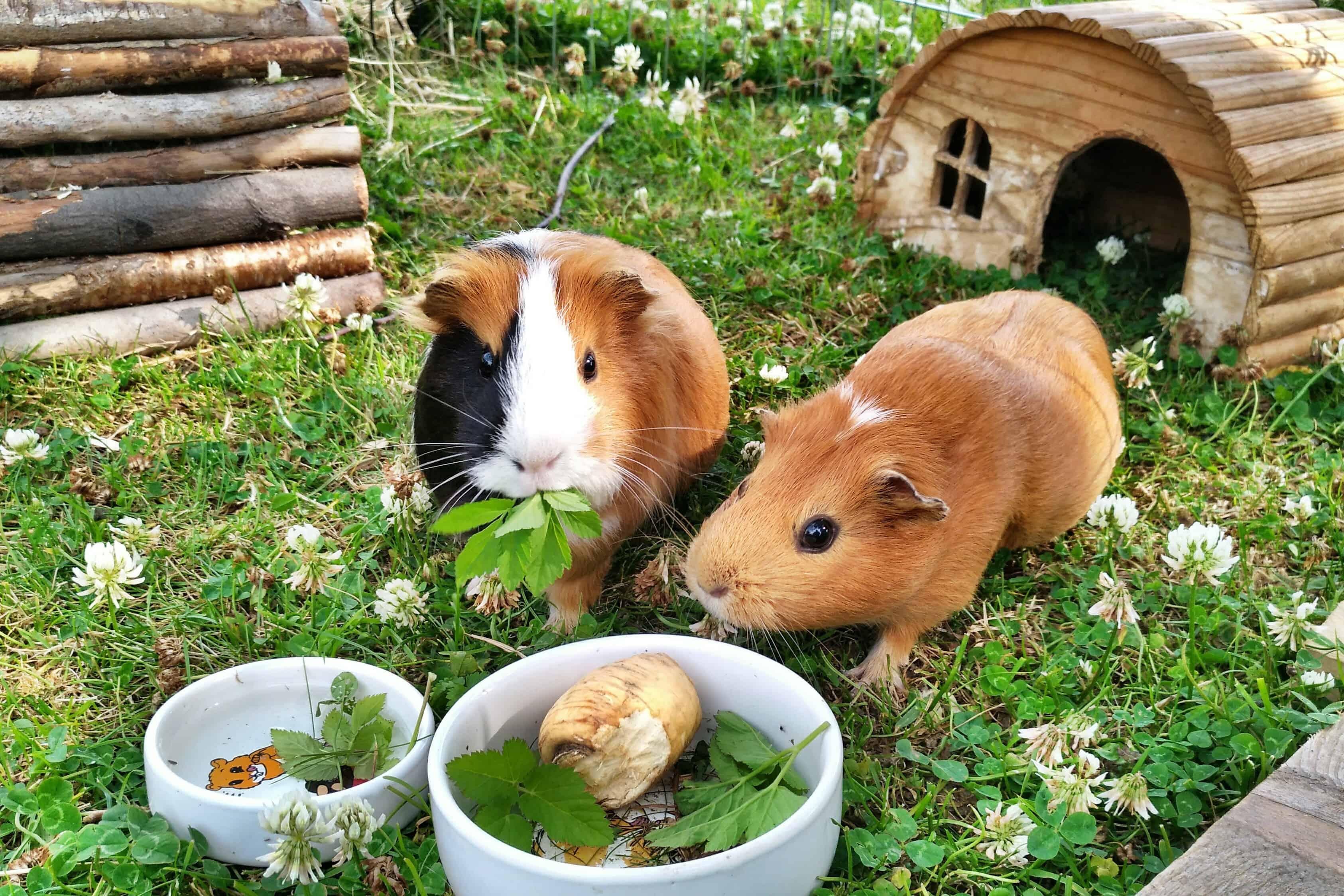 Jak na venkovní výběh pro morčata a králíky